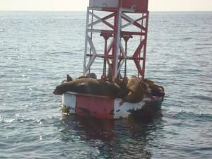 sea-lion-on-buoy