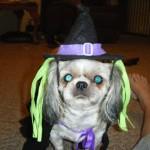 H witch costume dog 4