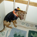 H witch costume dog 7