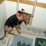 H witch costume dog 7