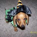 H witch costume dog 8