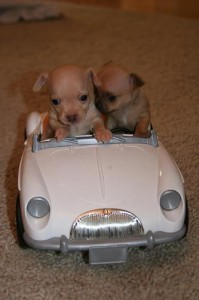 puppies 4 car