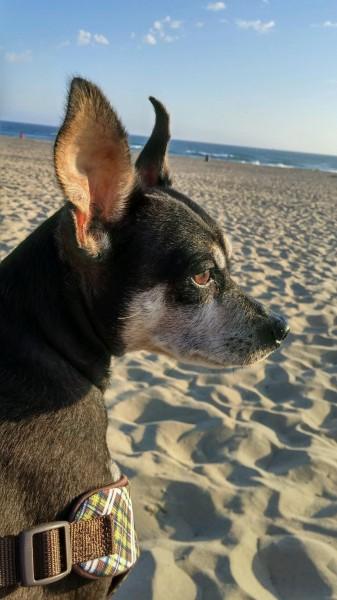 Bailey the beach dog