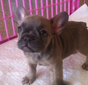Frenchie Puppy 2