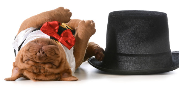 cute puppy - dogue de bordeaux puppy wearing tuxedo laying down