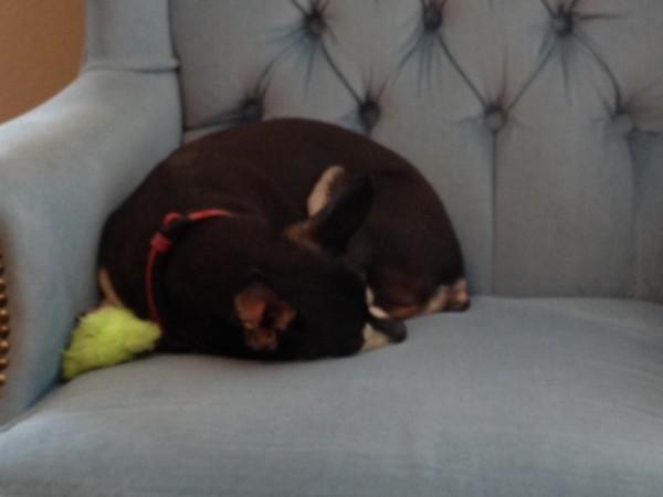 Bailey sleeping on chair.