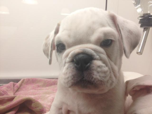 Bullsof puppy at FI