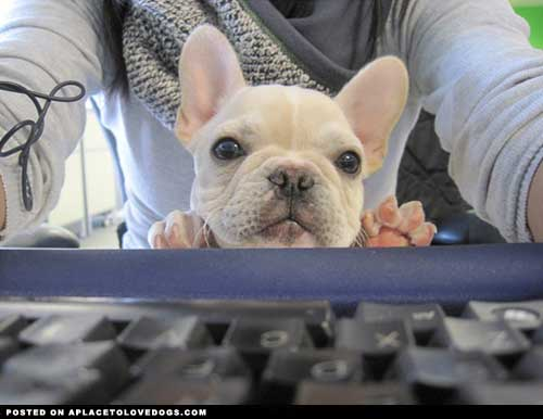 frenchie on computer