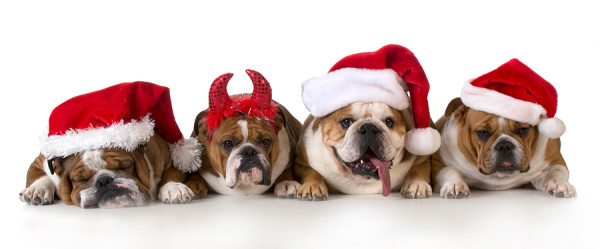 christmas dog - cute christmas concept with one naughty dog in a bunch of Santa's
