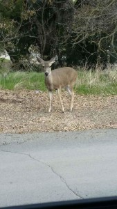 Deer on way daow from Calcareous Winery 2